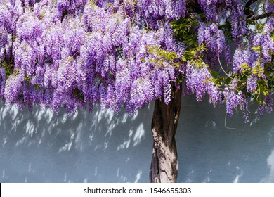 Flowering Wisteria tree on house wall background in Germany. Natural home decoration with flowers of Chinese Wisteria ( Fabaceae Wisteria sinensis )