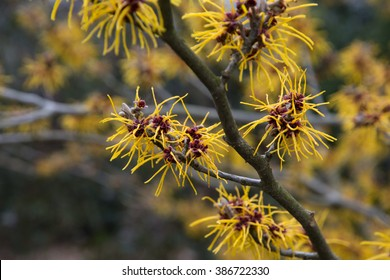 flowering witch hazel in the early spring