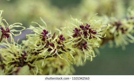 Flowering witch hazel - Hamamelis