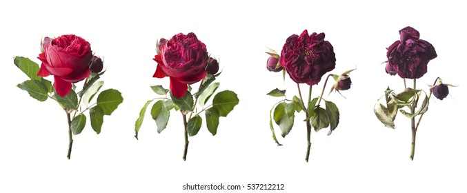 Flowering and withering red roses as a symbol of youth and aging
