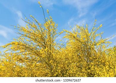 Flowering yellow broom Cytisus scoparius with blue sky in Europe