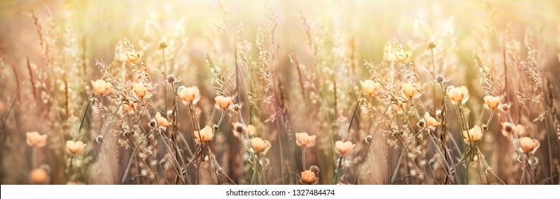 Flowering yellow flower in spring, blooming (flowering) buttercup -beautiful nature