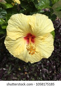 flowering yellow hibisucs