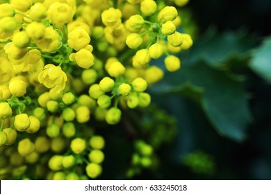 Flowering yellow Mahonia aquifolium Oregon-grape wild flower holly leaves
