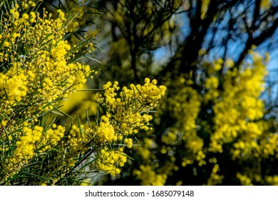 Flowering yellow wattle bush with flowers in foreground