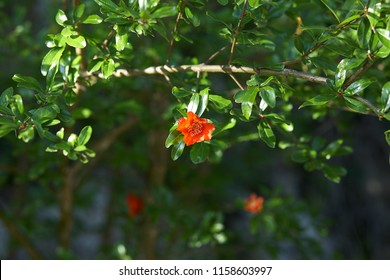 Flowering young pomegranate