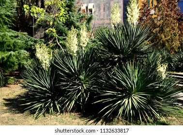flowering yucca at Sochi, Russia