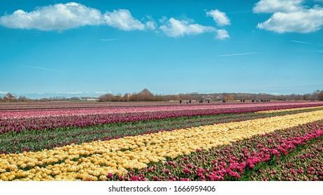 Flowering Zijpe es un paseo organizado por los campos floridos en el Kop van Noord-Holland en los Países Bajos.