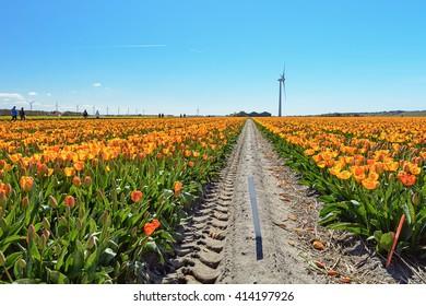 Flowering Zijpe is an organized walk through the flowering fields in the Kop van Noord-Holland in the Netherlands.