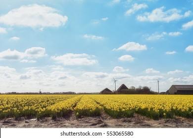 Flowering Zijpe is an organized walk through the flowering fields in the Kop van Noord-Holland in the Netherlands