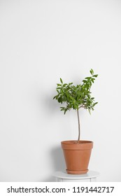 Flowerpot with olive plant on table on white background. Space for text