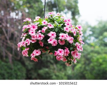 Flowerpot of pink periwinkle flower with water drops hanging over blurry green garden background in rainy season.