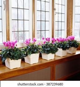 Flowerpots of Cyclamen arranged in a row at window