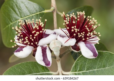 Flowers of Acca sellowiana, flowering plant in the myrtle family, Myrtaceae, native to South america, feijoa, pineapple guava, guavasteen.