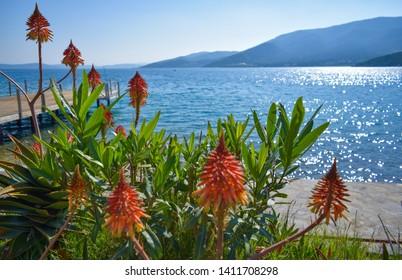 Flowers. Aegean sea in Torba. Bodrum peninsula. Southwestern Turkey