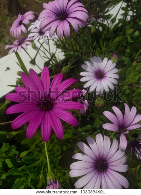 flowers african daisy outdoors