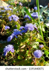 Flowers of ageratum. Gardening and floriculture. 2.