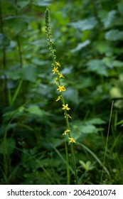 Flowers of Agrimony (or Aaron's Rod or Fairy's Wand) with astringent properties used for herbal medicine.