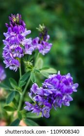 Flowers of alfalfa in the field.Medicago sativa.