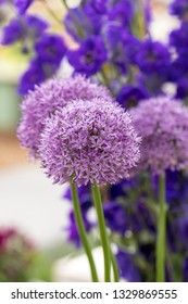 The flowers of the Allium Giganteum (Giant Allium or Giant Onion) the tallest ornamental allium in common cultivation - a perennial bulb which produces a single 12-16cm flower cluster