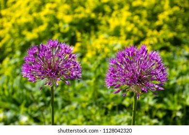 Flowers of Allium (Persian onion), onion subfamily