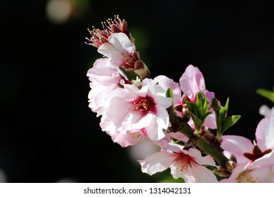 Flowers of the almond tree during the spring.