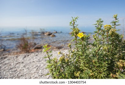 Flowers along a rocky beach. Lake Michigan near Northport, Michigan