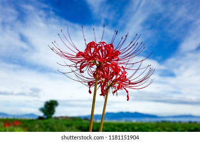 Flowers of the Amaryllis with blue sky background