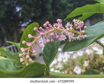 Flowers of American pokeweed, Phytolacca amaricana, growing in Galicia.