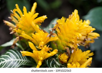 Flowers Aphelandra yellow