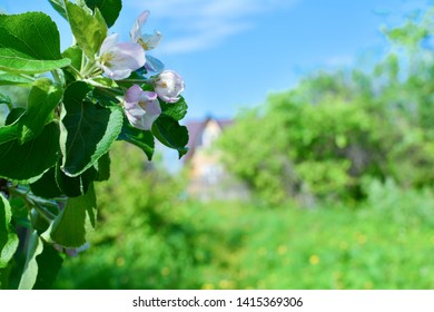 Flowers of apple against the background of the garden, the sky and a country house.