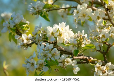 Flowers of the apple blossoms in Spring. Blurred nature background.