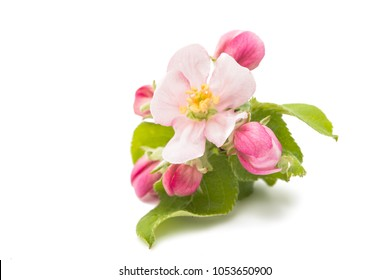 flowers of apple tree isolated on white background