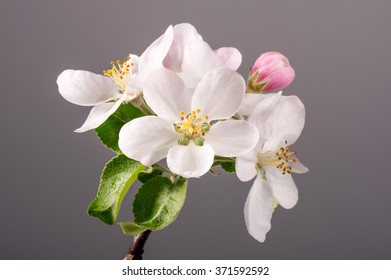 Flowers of apple tree on branch. Studio shoot.