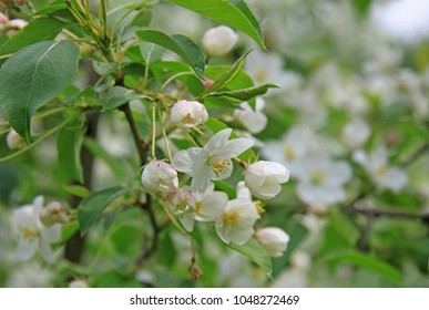 Flowers of the apple tree in spring