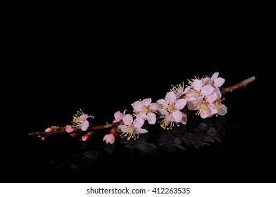 Flowers of apricot on a black background