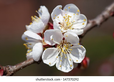 Flowers apricot tree branch with flowers close up