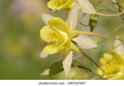 Flowers aquilegia or catchment close-up beautiful and delicate