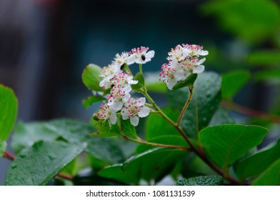 Flowers Aronia melanocarpa in the garden after rain