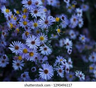 flowers Astra alpine
