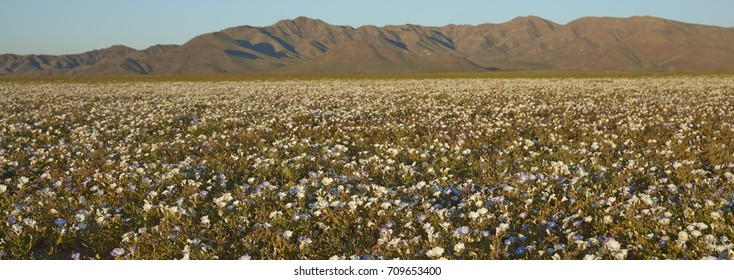 Flowers in the Atacama Desert. Carpet of white Nolana flowers (Nolana baccata) in bloom after rare rain in the Atacama Desert near Copiapo, in northern Chile.