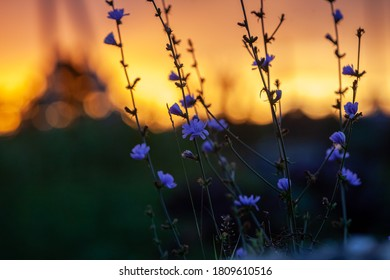Сhicory flowers in autumn sunset horizontal photo