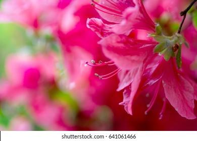 Flowers of Azalea close up