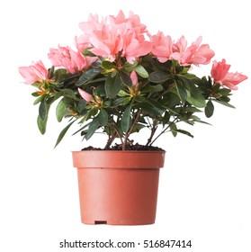 Flowers of an azalea of salmon color