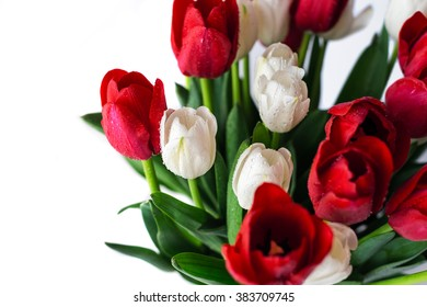 Flowers background. Beautiful view of red and white flowering tulips in a vase, isolated for 8 march or international women day.