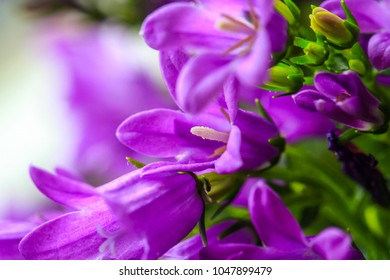 Flowers background with purple campanula flowers