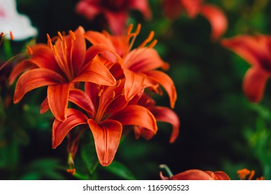 Flowers Background. Red lily flowers in garden