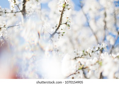 Flowers background. White apple tree flowers. Spring tree flowers. Fruit tree background. Prism photography. Spring background with blue sky