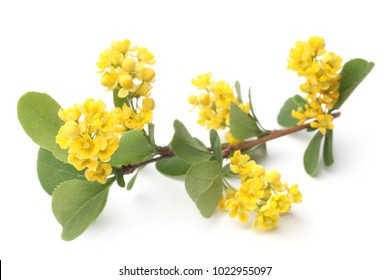Flowers of barberries with leaves on white background