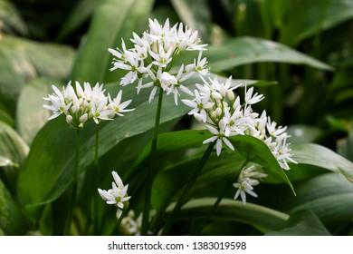 Flowers of Bear's Garlic (Allium ursinum)
